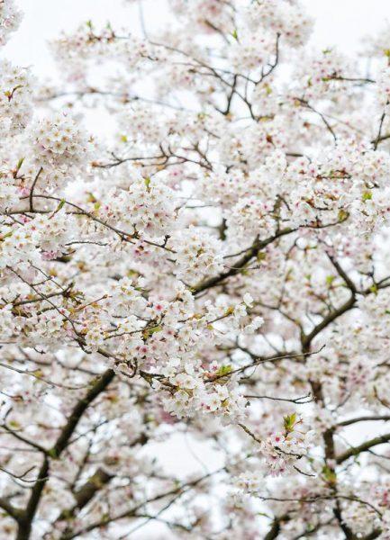 Blossom White 1 Leinwandbild