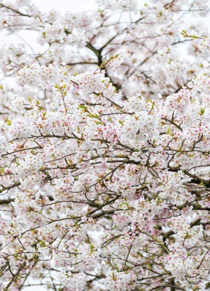 Blossom White 2 Leinwandbild