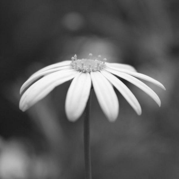 Daisy Leinwandbild