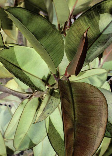 Ficus Elastica Leinwandbild