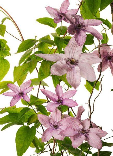 Flora Clematis Leinwandbild
