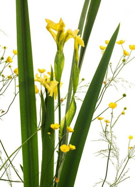 Flora Gelbe Iris Leinwandbild