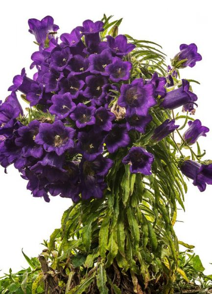 Flora Glockenblume Leinwandbild