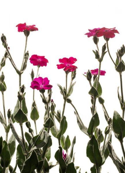 Flora Nelke Leinwandbild