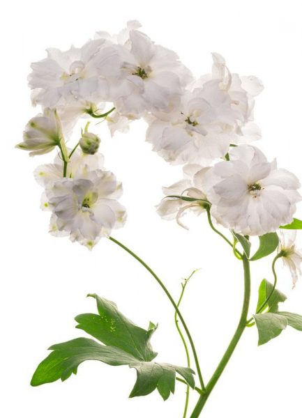 Flora Pfingstrose Weiß Leinwandbild