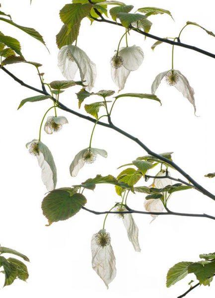 Flora Taubenbaum Leinwandbild