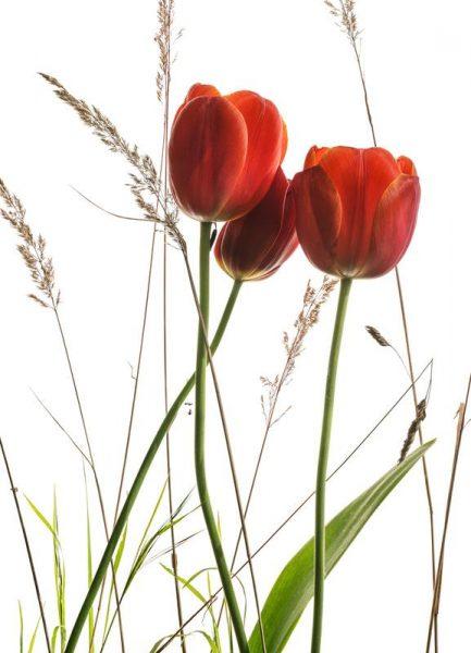 Flora Tulpe Leinwandbild