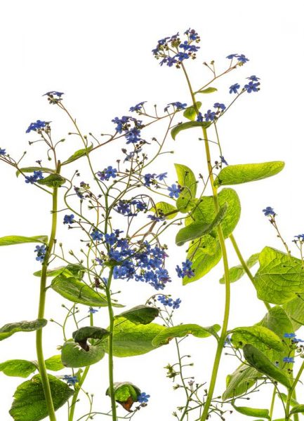 Flora Vergissmeinnicht Leinwandbild