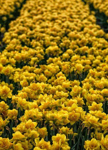 Golden Tulips Leinwandbild