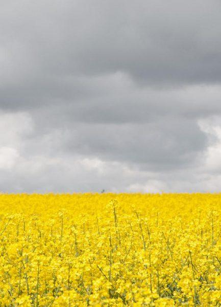 Grey Sky Meets Yellow Fields Leinwandbild