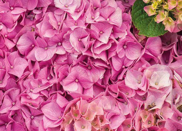 Hortensia Pink Leinwandbild