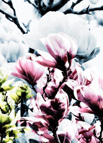 Magnolia 01 Leinwandbild
