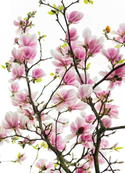 Magnolia Pink 2 Leinwandbild