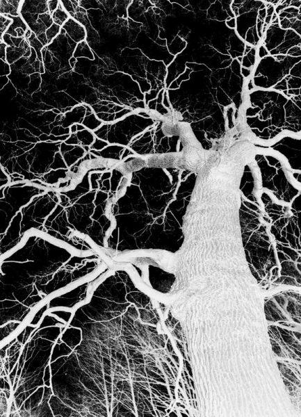 Oak Tree 1 Leinwandbild