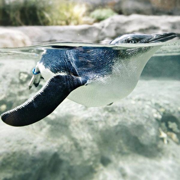 Pingu Leinwandbild