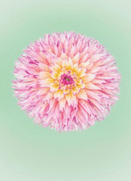 Pink Dahlia Leinwandbild