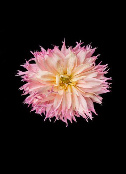 Pink Star Dahlia Leinwandbild