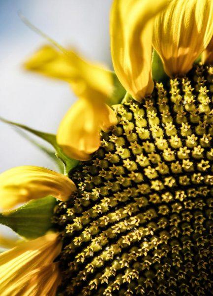 Sunflower Leinwandbild