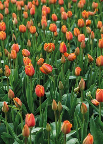 Tulip Field Orange Leinwandbild