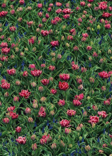 Tulip Field Pink Leinwandbild