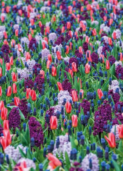 Tulip Field Purple Leinwandbild