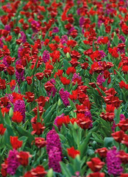 Tulip Field Red Leinwandbild