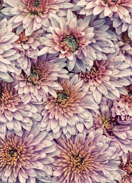 Wheeping Chrysanthemums Leinwandbild