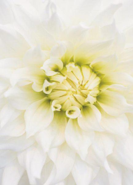 White Dahlia Leinwandbild